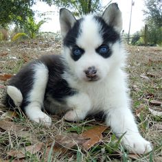 Siberian Husky puppy with a cute little spotted snow nose.