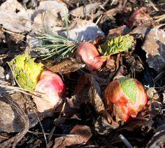 Hämmentäjä: Raparperi. Rhubarb.