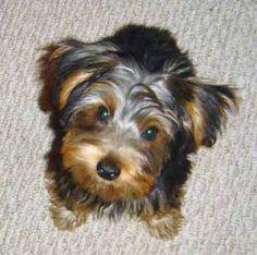 yorkshire-terrier-breed-non-shedding-dog.jpg 347×345 pixels