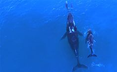 Beautiful! Video: Mother and baby whale swim with mother and baby dolphin - Telegraph