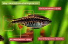 Puntius Titteya - Barbo cereza Características sexuales de la hembra