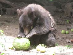 Cinder getting some last watermelon before release..... 6-1-2015