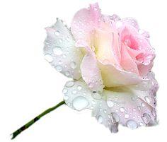 FOTOFRONTERA: 40 fotos de rosas de colores para ver, disfrutar y compartir. (shared via SlingPic)