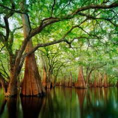 Cypress sanctuary--A backwater spot in the Suwanee River Valley, Florida by Paul Marcellini Old Florida, Florida Home, Florida Usa, Florida Trees, South Florida, Vintage Florida, Suwanee River, Landscape Photography, Nature Photography