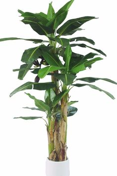 Banana Tree: Indoor trees generate oxygen in a room, and make it seem more open.