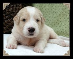 Goldendoodle Puppies from Hearthside Country - Hearthside Country