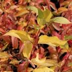 Golden Prairie Fire Dogwood (2.5m high and 1.75m wide)  Solid golden leaves have a red fall colour.  Red twigs give this plant all year interest. Full sun to part shade. Canadale Nurseries Ltd.