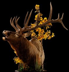 Elk Mount Ideas - My Favorite pose!