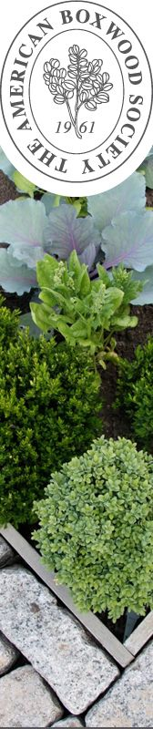 About Boxwood... (did you know that there's an American Boxwood Society?)