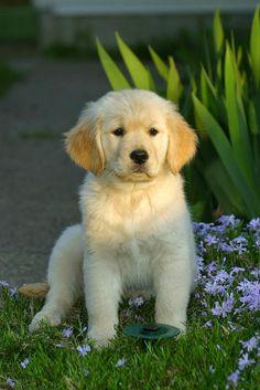 Filhote de Labrador.