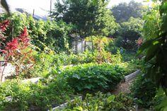 A família Dervaes transformou o quintal de sua casa em Pasadena, na Califórnia (USA), em uma próspera horta orgânica. Nos 362 m², Jules Dervaes e seus três filhos - Anais, Justin e Jordanne - cultivam cerca de 400 espécies de hortaliças, legumes, frutas e ervas. Nos cuidados com a lavoura, os Dervaes contam com a ajuda esporádica de voluntários locais.  Fotografia: Divulgação/ Urban Homestead®