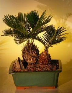 Sago Palm Bonsai Tree - Double Planting (cycas revoluta)