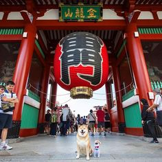 Kaminarimon (Kaminari Gate) is the first of two large entrance gates leading to Sensoji Temple.First built more than 1000 years ago, it is the symbol of Asakusa. The Nakamise shopping street leads from Kaminarimon to the temple grounds. ✨⛩✨マックスくんを連れて東京ツアー*\(^o^)/* 浅草行ってきたよ #続きはイキクルで #urlはプロフィール欄にあるよ  #映画ペット #松下幸之助