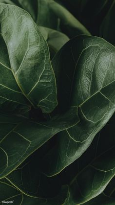 Close up of a Fiddle-leaf fig plant mobile wallpaper   free image by rawpixel.com / Jira Plant Wallpaper, Green Wallpaper, Mobile Wallpaper, Dark Green Aesthetic, Plant Aesthetic, Estilo Tropical, Image Nature, Fiddle Leaf Fig, Nature Plants