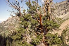 This limber pine #tree lives life on the edge. Find out why it's a national champion tree. #AmericanForests