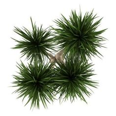 plants top view: top view of yucca palm tree isolated on white background