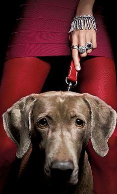 Pour le magazine Tatler, un braque de weimar Weimaraner, Vizsla, Diamond Are A Girls Best Friend, Mans Best Friend, Best Friends, Dressage, Animal Photography, Hand Photography, Dog Life