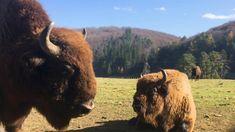 Valea cu Zimbri, Intorsura Buzaului. Cow, Animals, Animales, Animaux, Cattle, Animal, Animais, Stuffing