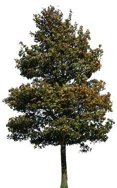 tree 39 png by gd08.deviantart.com on @deviantART