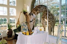 GIRAFFEs actually come into your hotel window