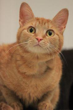 Pretty Cats, Beautiful Cats, Animals Beautiful, I Love Cats, Crazy Cats, Cool Cats, Kittens Cutest, Cats And Kittens, Ragdoll Kittens