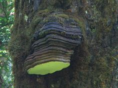 """Common Name: Agaric 