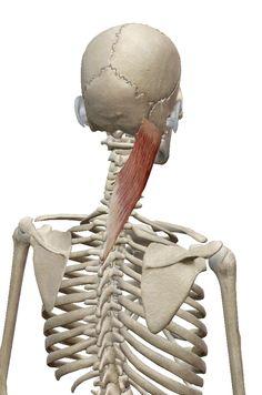 板状筋:ばんじょうきん | 筋肉のハナシ Neck Muscle Anatomy, Head Muscles, Fight For Your Dreams, Arthritis Pain Relief, Flying Saucer, Human Anatomy, Health Diet, Human Body, Art Reference