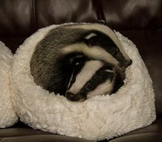 Cute (rescued) baby badgers! Adorable.