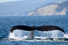 Tadoussac, Quebec: We will be stopping here on our honeymoon to go whale watching! -Rochelle (A Greener Future) Quebec, Minke Whale, Destinations, Canadian Travel, Canada, Prince Edward Island, Blue Whale, The Province, Whale Watching