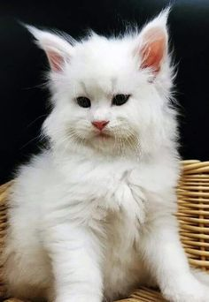 Cute white kitty cat
