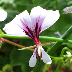pelargoniumhagen: juni 2011