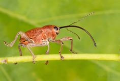 https://flic.kr/p/9J7UJf   Acorn Weevil   On ARKive - www.arkive.org/acorn-weevil/curculio-glandium/image-A2350...  40D, MP-E 65  Acorn Weevil (Curculio glandium)  I found a very good video about this species on youtube, must see :) - www.youtube.com/watch?v=Shq5IbhltE8