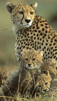 cheetah, cubs, grass, field, family
