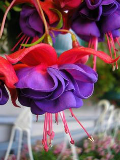 Lovely fuschias.....she always bought at least 2 baskets in the spring.