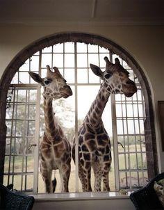 giraffe manor, in kenya