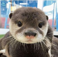 Gabriel's Otter (Oscar) Super Cute Animals, Cute Little Animals, Cute Funny Animals, Otters Cute, Baby Otters, Otters Funny, Baby Sloth, Funny Pets, Baby Animals Pictures