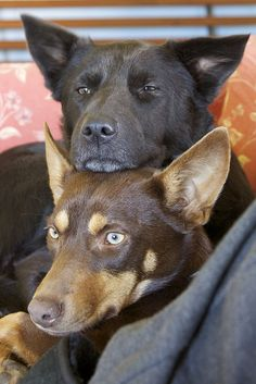 Kelpie love. 2 is always better than 1, right?!