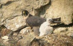 Inventario de Fauna - Halcon Peregrino