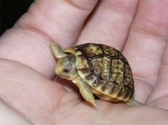 A young Egyptian tortoise, one of the world's most endangered species, hatched in the Prague zoo this weekend, measuring 2.5 cm and weighing 5.5 grammes.
