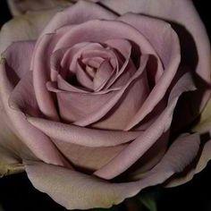 Amnesia roses, my favorite... God put antique purple in his prettiest flower! :)