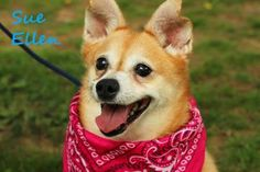 12 / 10 Petango.com – Meet Figgy Pudding, a 5 years 3 months Pomeranian / Mix available for adoption in MEDIA, PA Contact Information Address 555 Sandy Bank Road , Unit, MEDIA, PA, 19063 Phone (610) 566-1370 Website http://www.delcospca.org Email info@delcospca.org