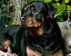 Nature of a Rottweiler