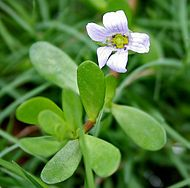Bacopa monnieri has many chemical constituents including alkaloids (brahmine and herpestine).