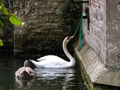 The swans ring the bell to be feed at the Bishops Palace - Wells, Somerset, UK. ID DSCN0796