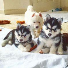 Follow me @huskies for more❤ Pic by @mywinterfells.siberian_huskies