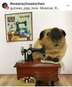 Guinea pig and sewing machine 061418