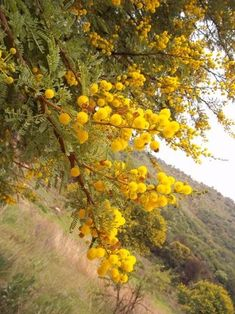 South African traditional healing utilizes a multitude of plants to treat an array of health/medical conditions, says Jean-Francois Sobiecki ethnobotanist Acacia, Hedging Plants, Living Fence, Mediterranean Style, Medicinal Plants, Sardinia, Hedges, Botany, Beautiful World
