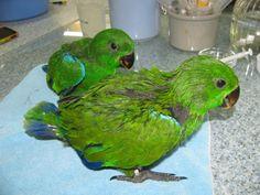 Male Eclectus Parrot Little Bigger Babies.