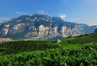 Vineyards on the hills of Piana Rotaliana, Trentino, Italy