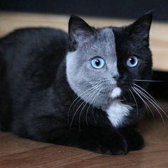 """Adorable Kitten Born With a Rare """"Two Face"""" Has Grown Into a Striking Cat"""